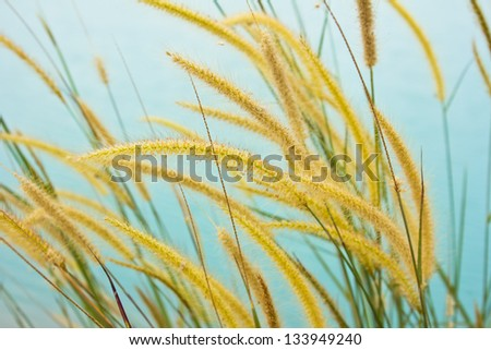 white reeds field - stock photo