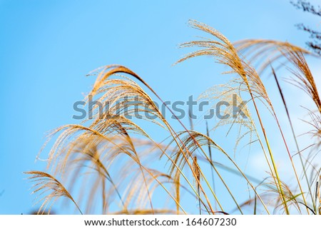 white reeds field on blue sky - stock photo