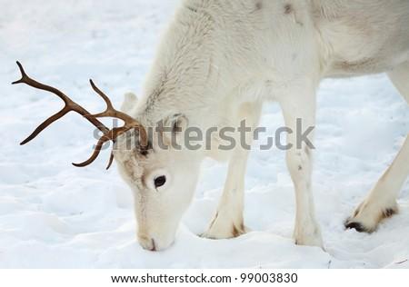 White reindeer - stock photo