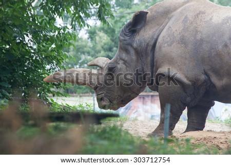 White Rhino - stock photo