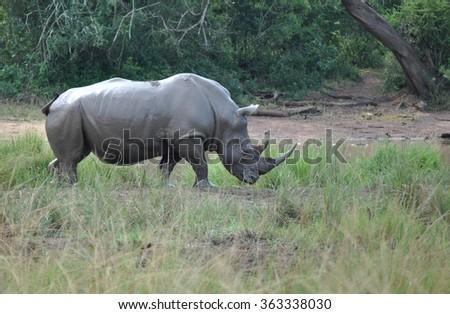 White Rhino after a mud bath - stock photo