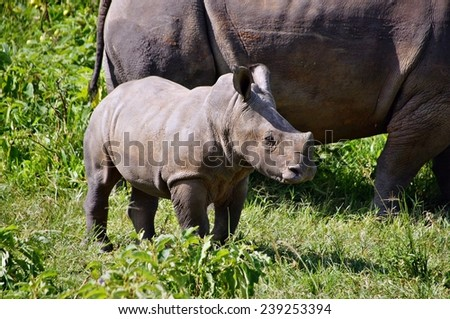 White rhino calf in Ziwa Rhino Sanctuary, Uganda - stock photo
