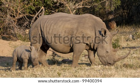 White Rhino (Ceratotherium simum) and yooung calf, South Africa