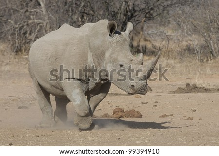White Rhino (Ceratotherium simum) running, South Africa