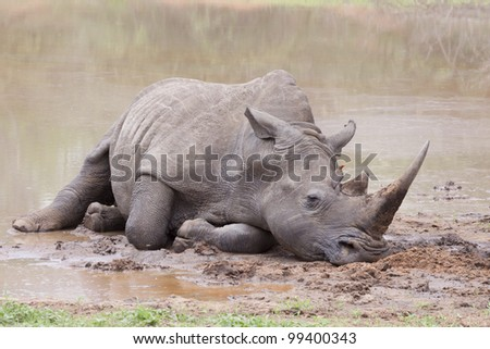 White Rhino (Ceratotherium simum) wallowing in mud, South Africa