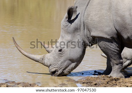 White Rhino (Ceratotherium simum) with large horn drinking water - stock photo