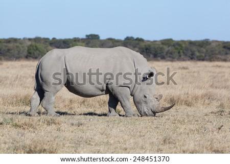 white rhino grassing in the dry savanna of Khama Rhino Sanctuary, Botswana Africa - stock photo