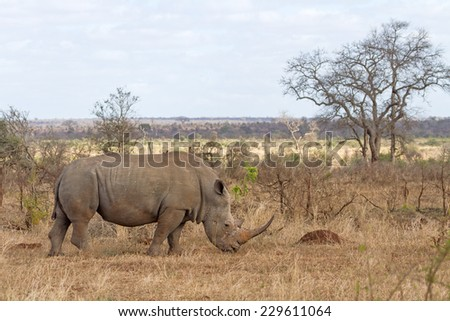 White Rhino Grazing at Kruger National Park, South Africa - stock photo
