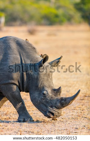 White rhino grazing in an open field in South Africa