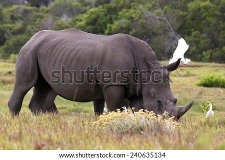 White Rhino grazing while egret birds fly next to him - stock photo