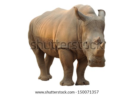 White rhino has a wide mouth used for grazing and is the most social of all rhino species.