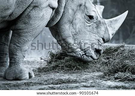White rhino in black and white eating - stock photo