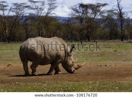 White Rhino in Lake Nakuru, Kenya - stock photo
