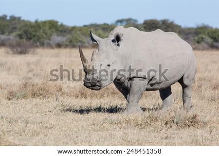 white rhino in the dry savanna of Khama Rhino Sanctuary, Botswana Africa - stock photo