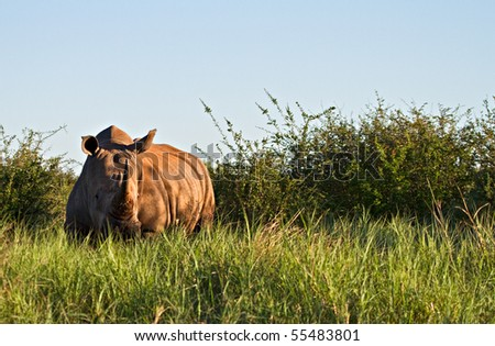 White Rhino in the glorious African morning sun - stock photo