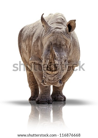 White rhino - isolated - stock photo