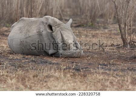 White Rhino resting by lying down - stock photo