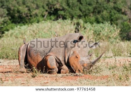 White Rhino resting South Africa - stock photo