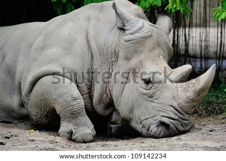 White rhino's head with details of it's face. - stock photo