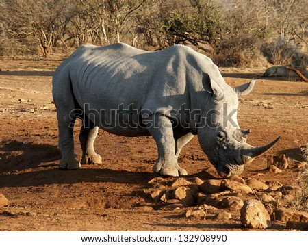 White Rhino South Africa with Lion Watching Behind - stock photo