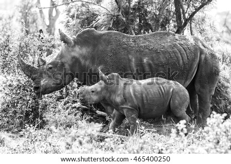White rhino with calf standing in bush, South Africa