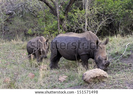 White rhino with child in South Africa - stock photo