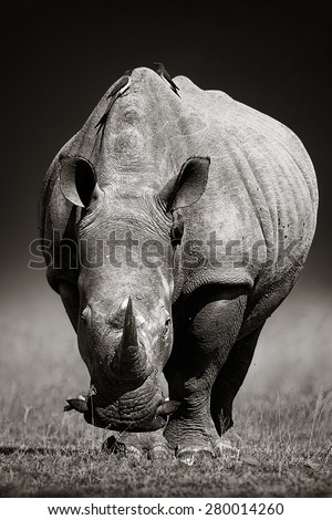 White Rhinoceros (Ceratotherium Simum) approaching from front - Kruger National Park (South Africa) - stock photo