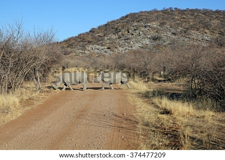 White rhinoceros (Ceratotherium simum) female with its young crossing the road in Ongava Game Reserve, Namibia