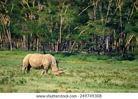 White rhinoceros (Ceratotherium simum) grazing in national park Lake Nakuru, Kenya - stock photo