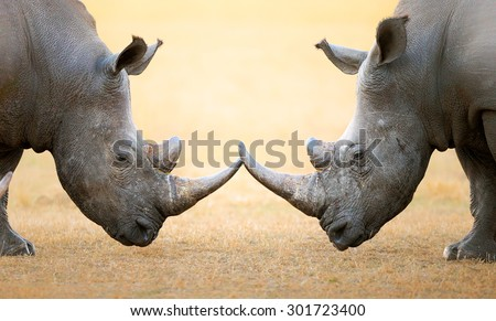 White Rhinoceros (Ceratotherium Simum) head to head - Kruger National Park (South Africa) - stock photo