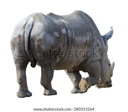 white rhinoceros(Ceratotherium simum). Isolated over white background