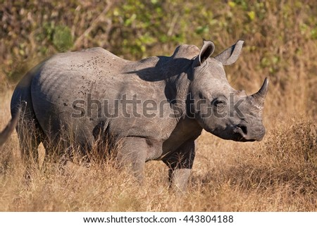 white rhinoceros, ceratotherium simum, Kruger national park, South Africa - stock photo