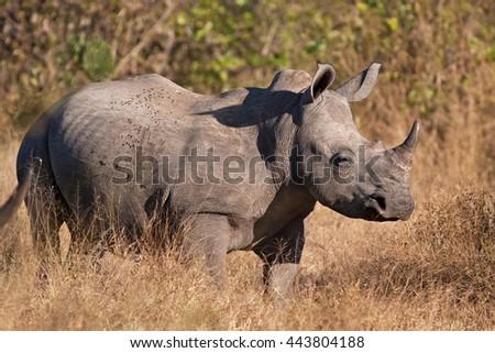 white rhinoceros, ceratotherium simum, Kruger national park, South Africa - stock photo