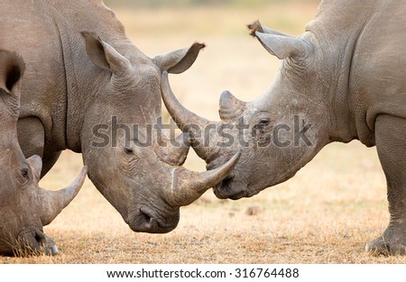 White Rhinoceros (Ceratotherium Simum) locking horns and interacting in the Kruger National Park (South Africa) - stock photo
