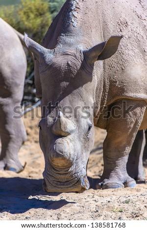 White rhinoceros, (Ceratotherium simum). South Africa - stock photo