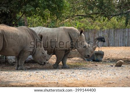 White rhinoceros, Ceratotherium simum, with big horn, Africa - stock photo