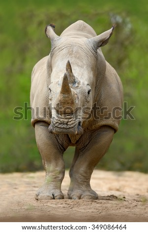 White rhinoceros, Ceratotherium simum, with big horn, in the nature habitat, Tanzania, Africa - stock photo