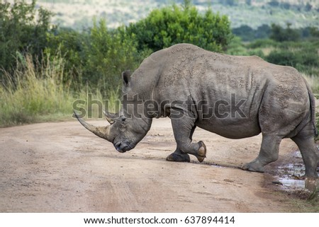 White Rhinoceros crossing dirt road, South Africa