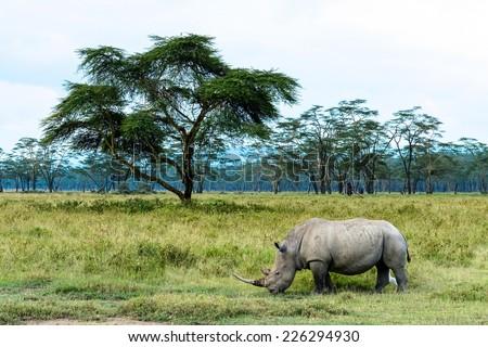 White rhinoceros eat grass in open grassland, Lake Nakuru National Park, Kenya - stock photo