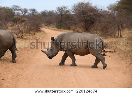 White Rhinoceros.  Famously categorized as one member of the Africa Big 5, the Rhino is relentlessly hunted and poached for its horn, which is popular with collectors and also served as medicine.