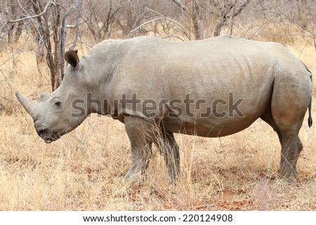 White Rhinoceros.  Famously categorized as one member of the Africa Big 5, the Rhino is relentlessly hunted and poached for its horn, which is popular with collectors and also served as medicine. - stock photo