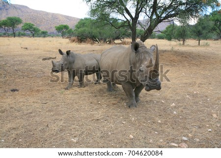 White rhinoceros female and calf in a private reserve, Namibia.