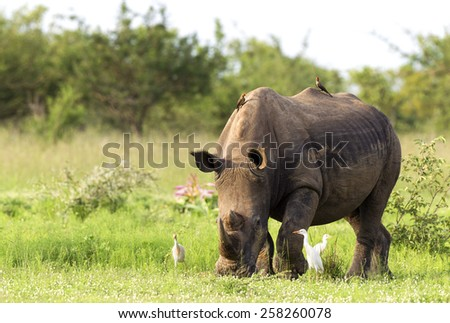 White Rhinoceros grazing in Kruger national park  - stock photo