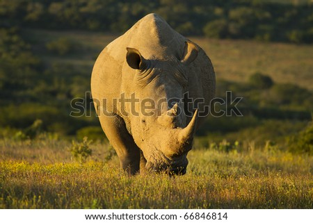 White rhinoceros grazing in late afternoon light