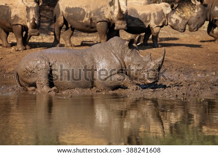 White rhinoceros has a good time during mud bath on the bank of small lake with the rest of herd on background - stock photo