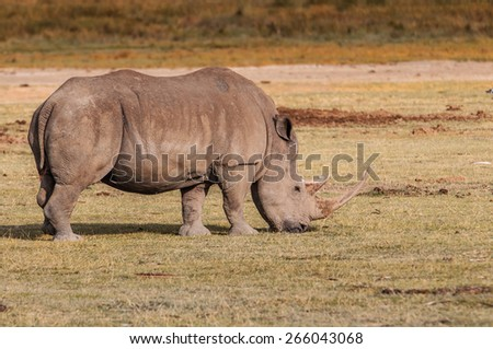 White rhinoceros in Kenya, Africa