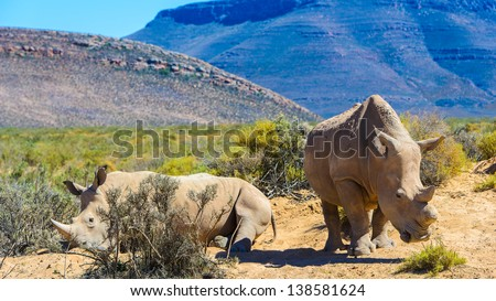 White rhinoceros in South Africa - stock photo