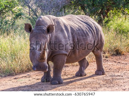 White Rhinoceros in the Savannah at Hlane Royal National Park, Swaziland