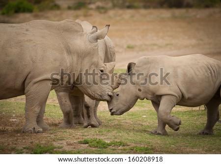White rhinoceros mother kissing baby white rhinoceros calf - stock photo