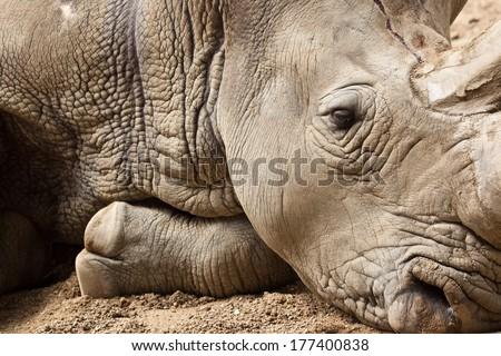 White Rhinoceros or Square-lipped rhinoceros (Ceratotherium simum)  - stock photo